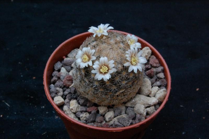 Mammillaria lasiacantha WTH 732