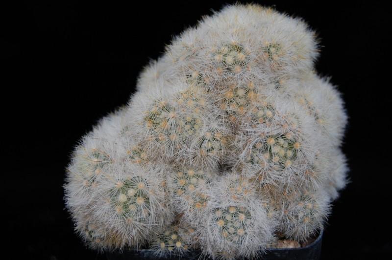Mammillaria laui LAU 1171