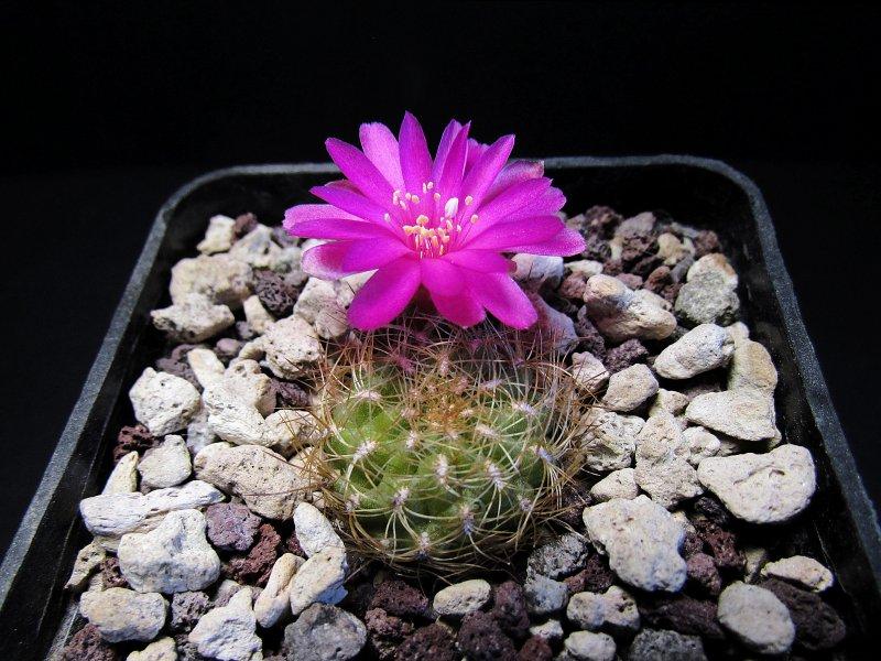 Sulcorebutia tiraquensis v. longiseta NL149/5