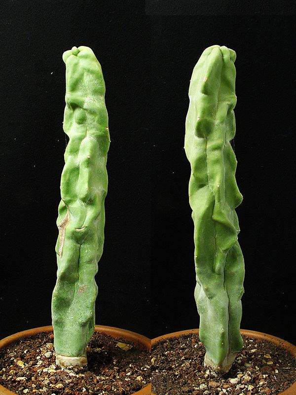 Lophocereus schottii f. monstruosus