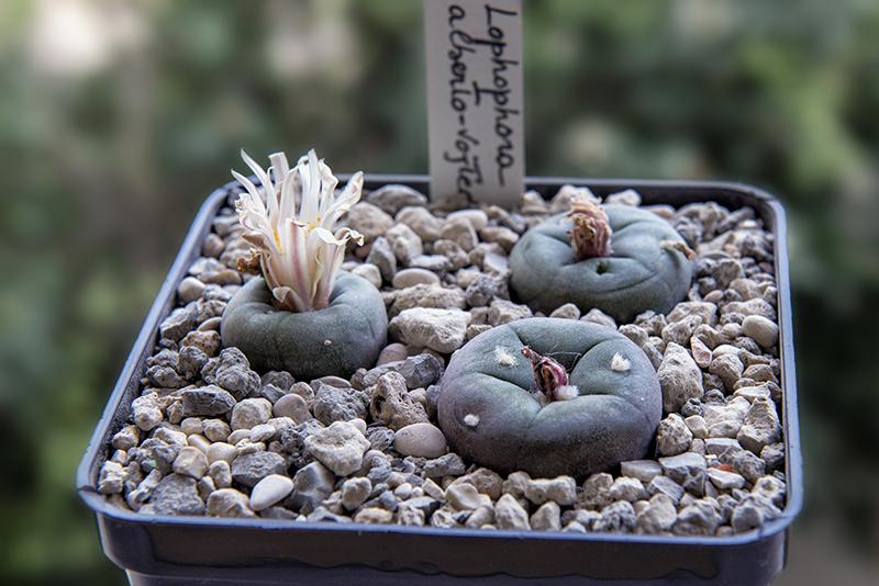 Lophophora alberto-vojtechii