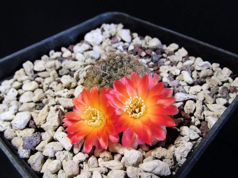 Sulcorebutia vasqueziana ssp. losenickyana G358/9
