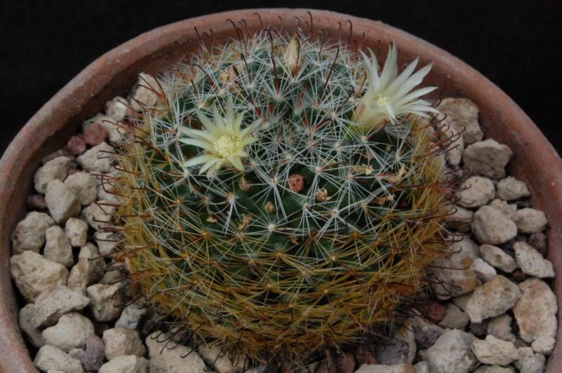 Mammillaria aff. moeller-valdeziana M 82