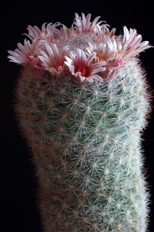Mammillaria candida v. rosea