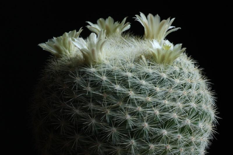 Mammillaria candida v. estanzuelensis