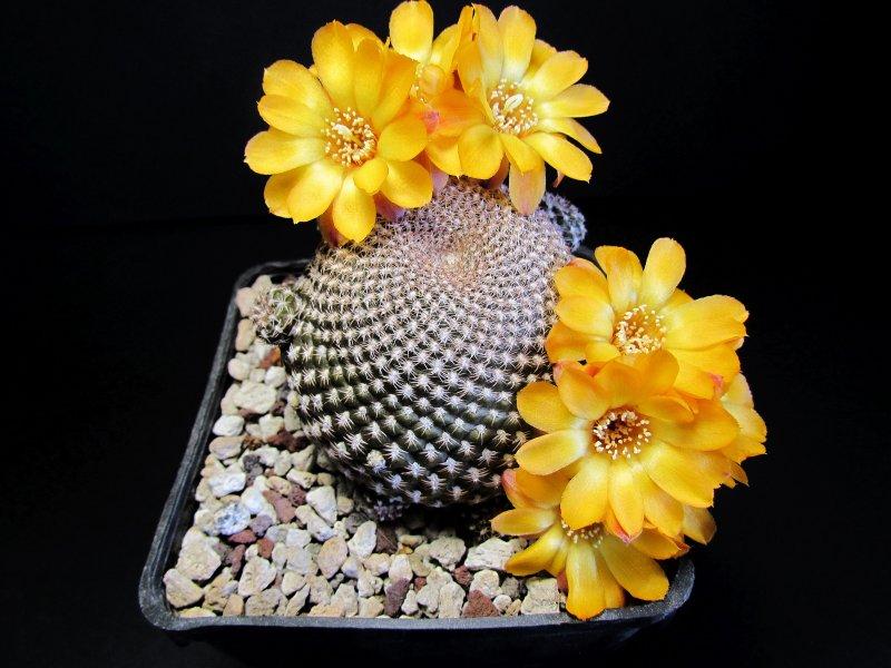 Sulcorebutia arenacea MC4393