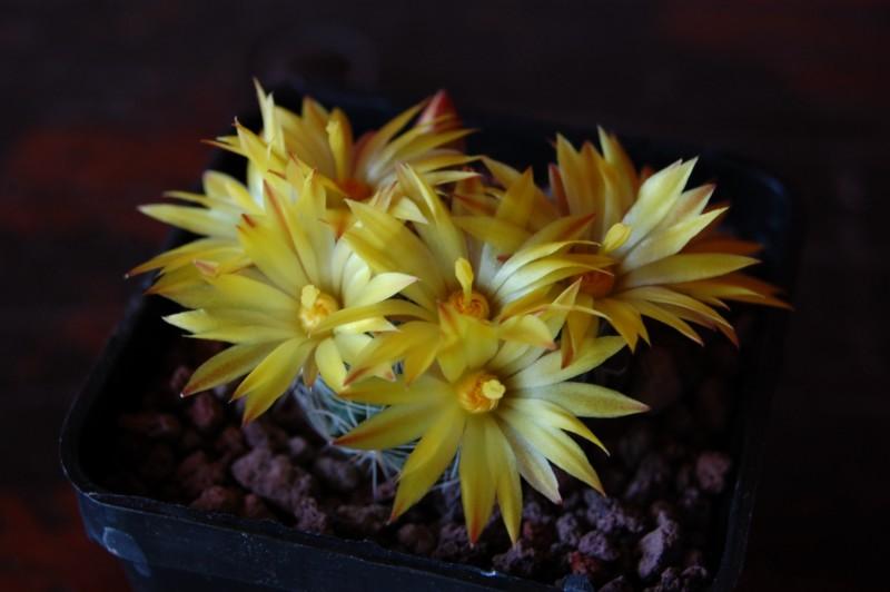 Mammillaria melaleuca