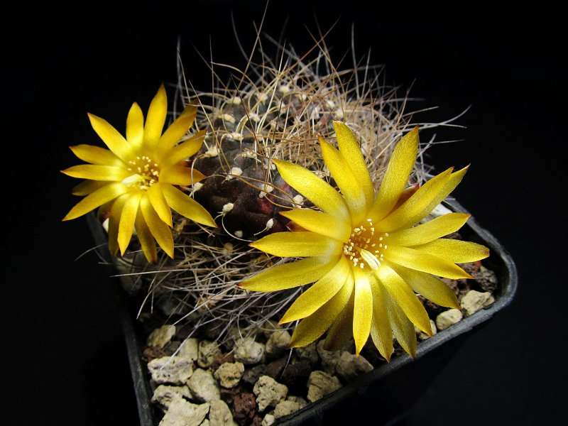 Sulcorebutia arenacea v. menesesii MC5532