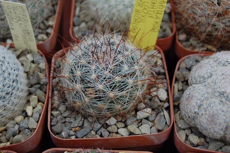 Mammillaria meridiorosei SB 668