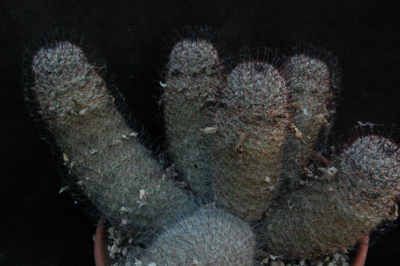 Mammillaria microcarpa SB 147
