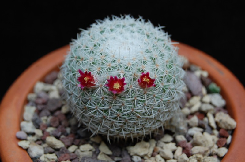 Mammillaria noureddineana ML 261