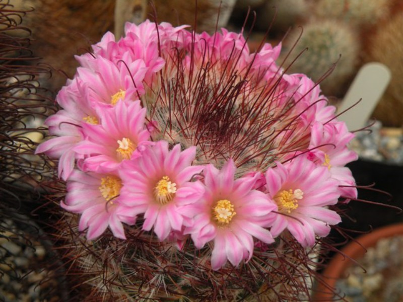 Mammillaria moelleriana LAU 1334