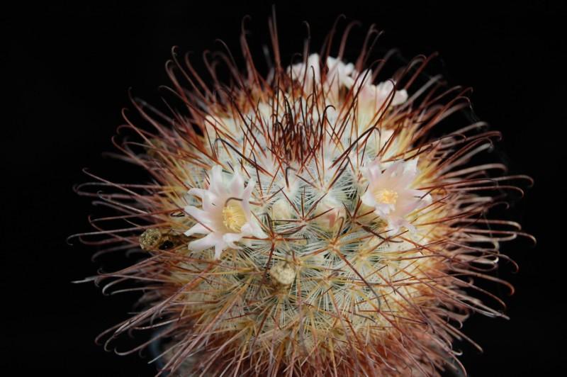 Mammillaria moelleriana REP 1746