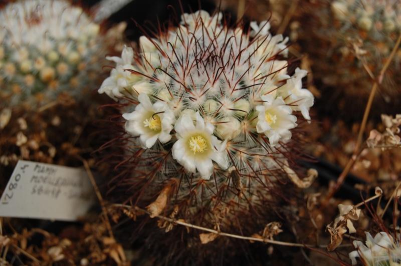 Mammillaria moelleriana SB 498