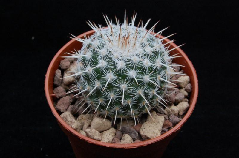 Mammillaria morganiana WTH 862