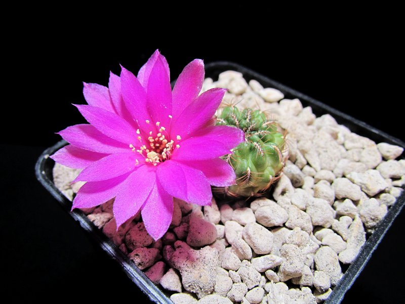 Sulcorebutia naunacaensis NL108a/1