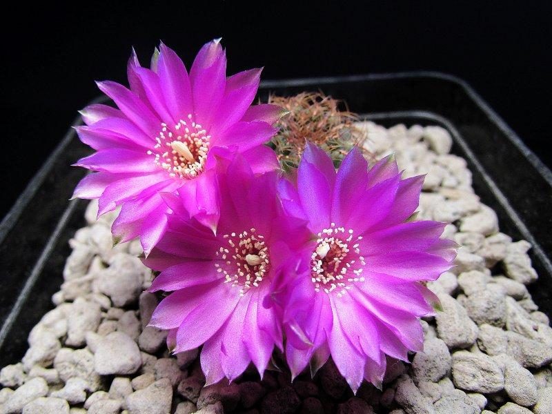 Sulcorebutia naunacaensis VZ205