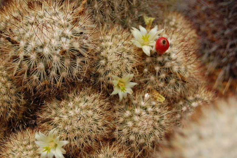 Mammillaria neopalmeri