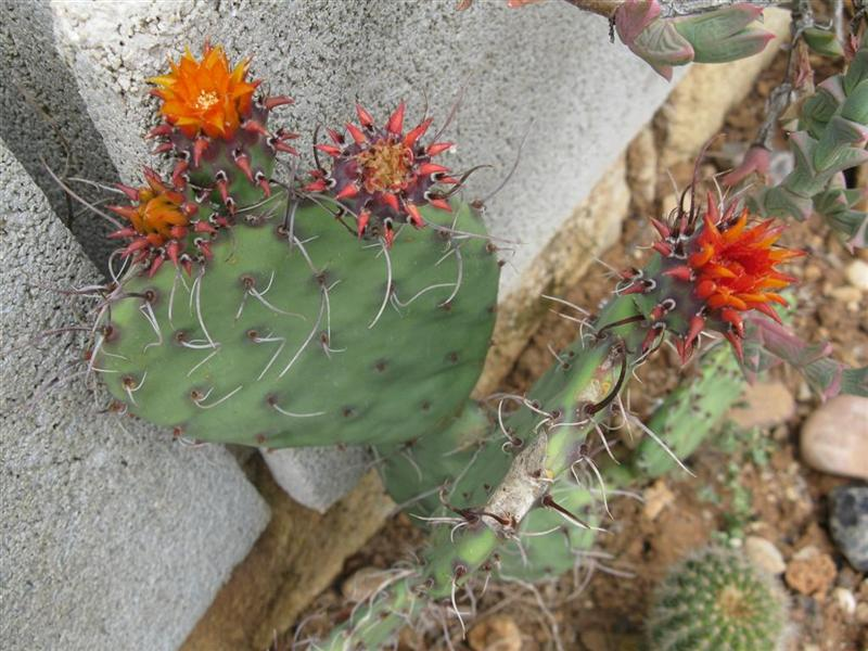Opuntia marnieriana