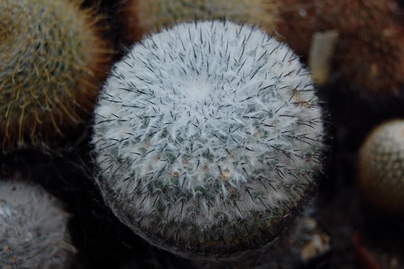 Mammillaria orcuttii ROG 106b