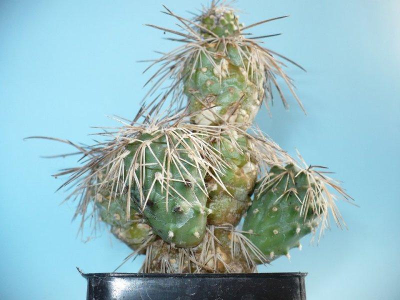 Tephrocactus alexanderi