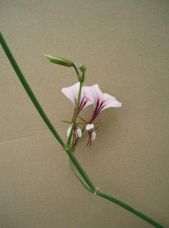 Pelargonium tetragonum