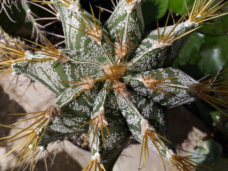 Astrophytum ornatum f. mirbelii