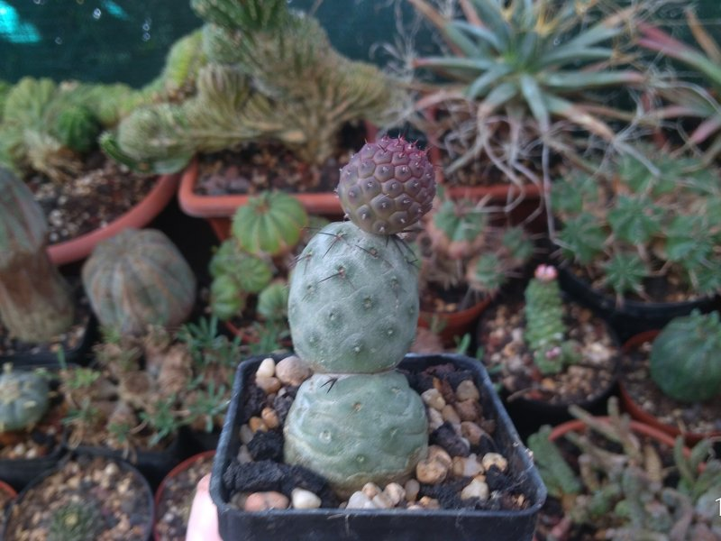Tephrocactus geometricus
