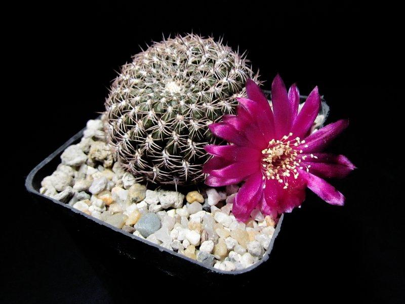 Sulcorebutia purpurea v. unguispina PHA937