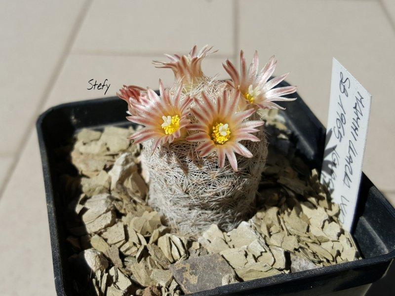 Mammillaria wohlschlageri SB1965