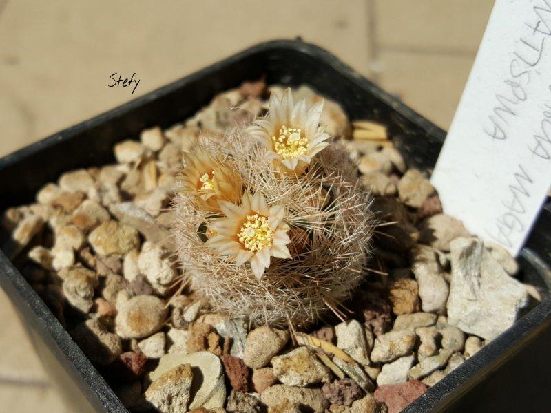 Mammillaria magallanii v. hamatispina