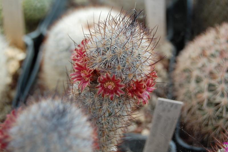 Mammillaria pottsii SB 429