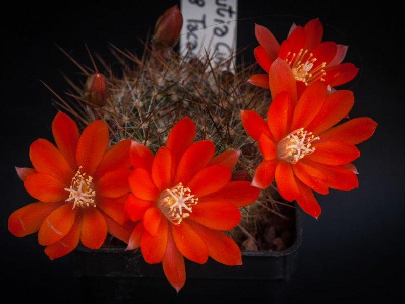 Aylostera fiebrigii v. cintiensis LF 358