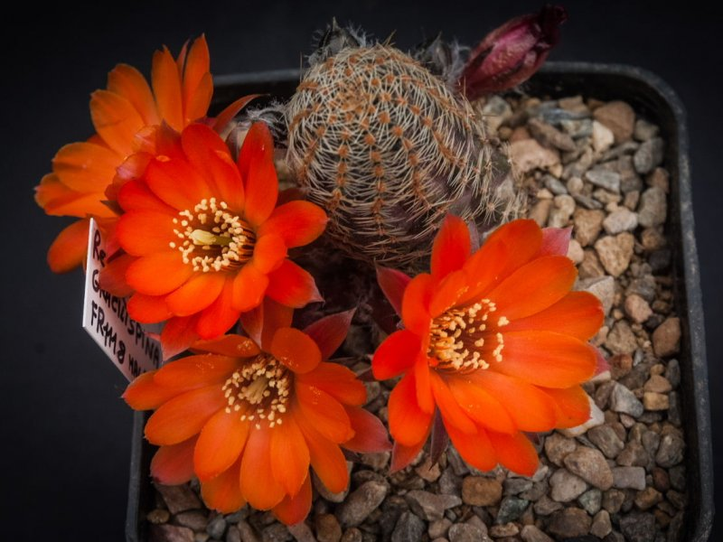 Rebutia gracilispina FR 1118