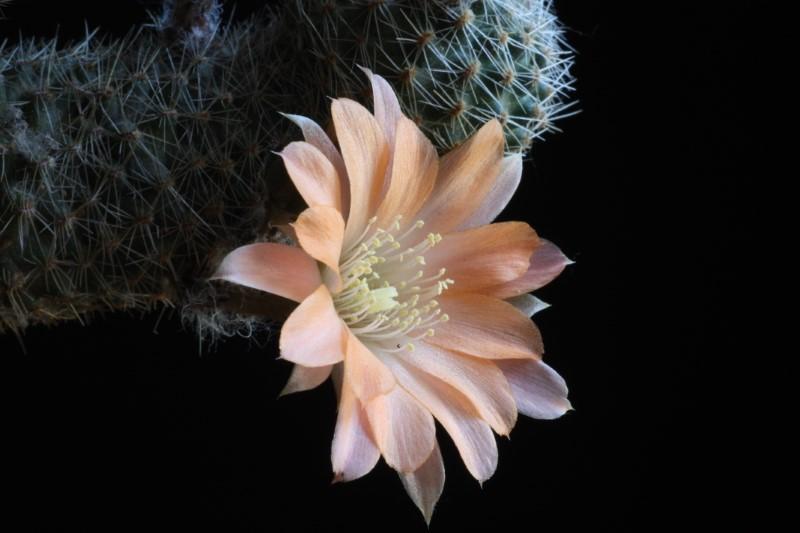 Rebutia haagei ssp. mudanensis