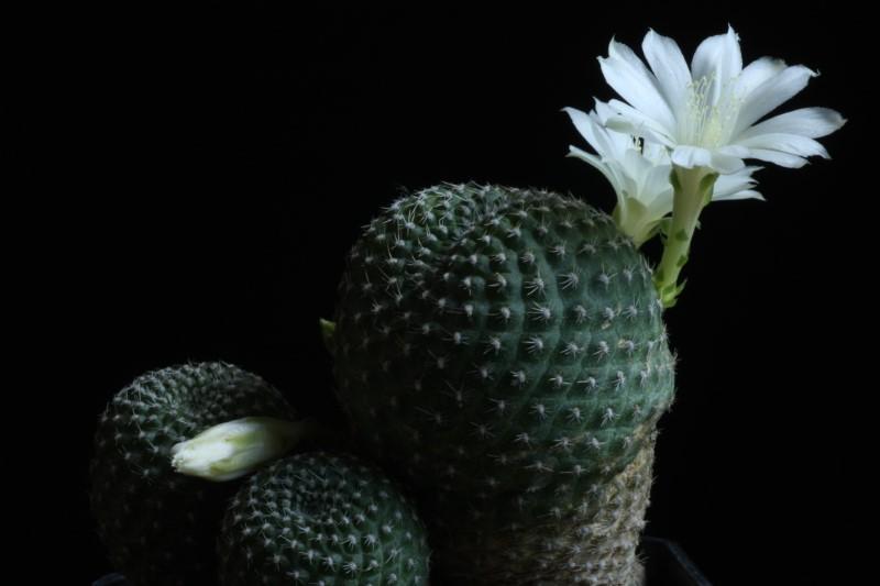Rebutia krainziana v. albiflora