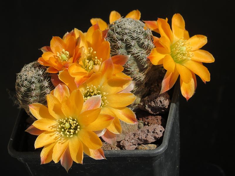Rebutia rutiliflora