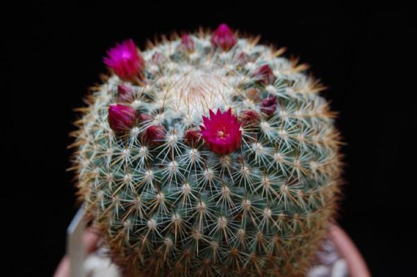 Mammillaria rhodantha SB 142