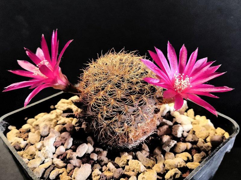 Sulcorebutia crispata RMR0413/1