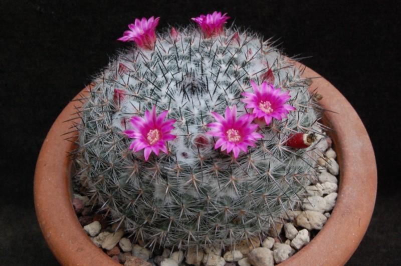 Mammillaria aff. woodsii ROG 578