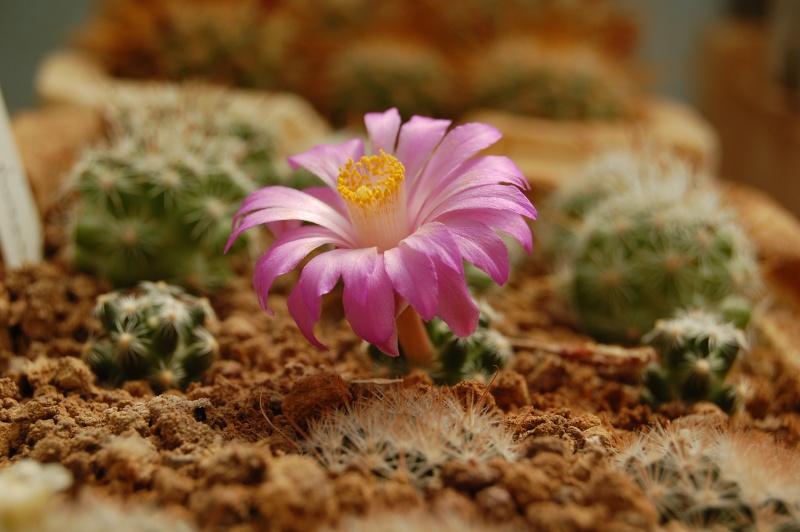 acompanhante flor da madeira
