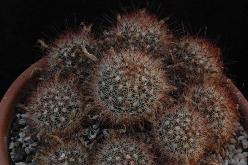 Mammillaria carretii