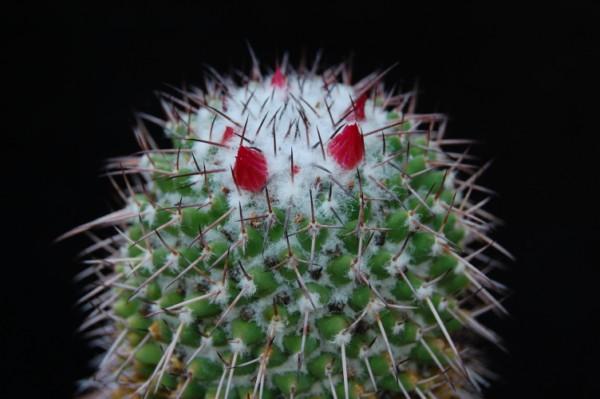 Mammillaria polythele SB 171