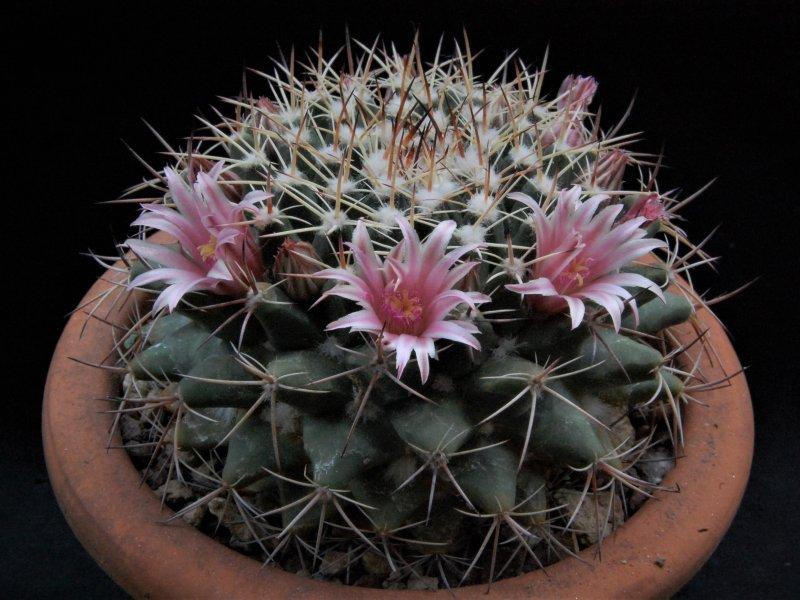 Mammillaria melanocentra SB 557