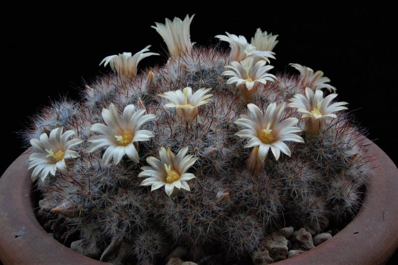 Mammillaria prolifera ssp. texana SB 856