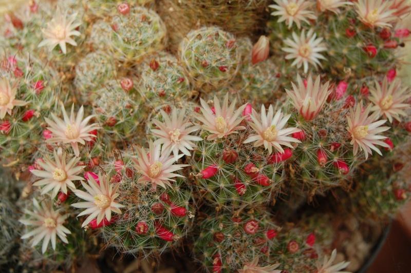 Mammillaria scheidweileriana