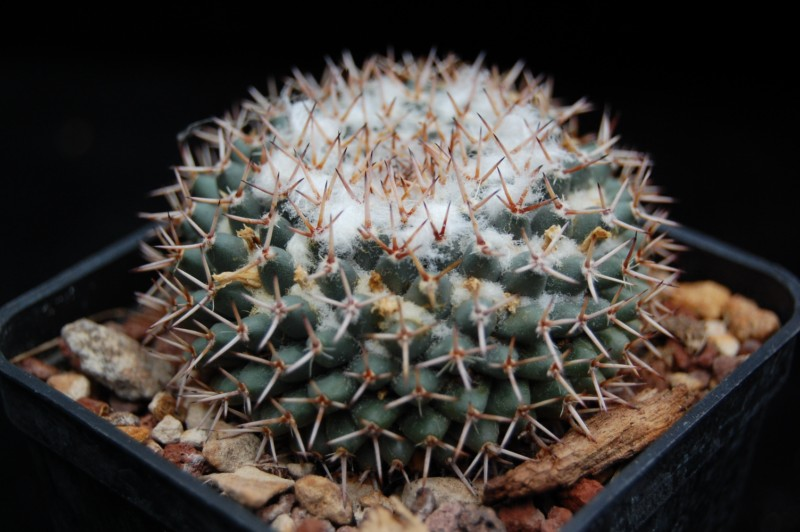 Mammillaria sempervivi REP 1976