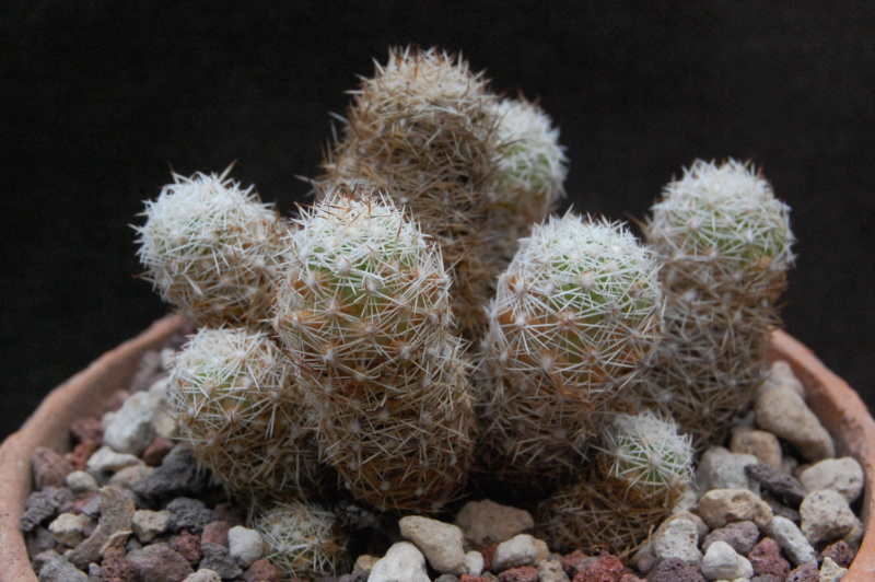 Mammillaria sphacelata SB 1277