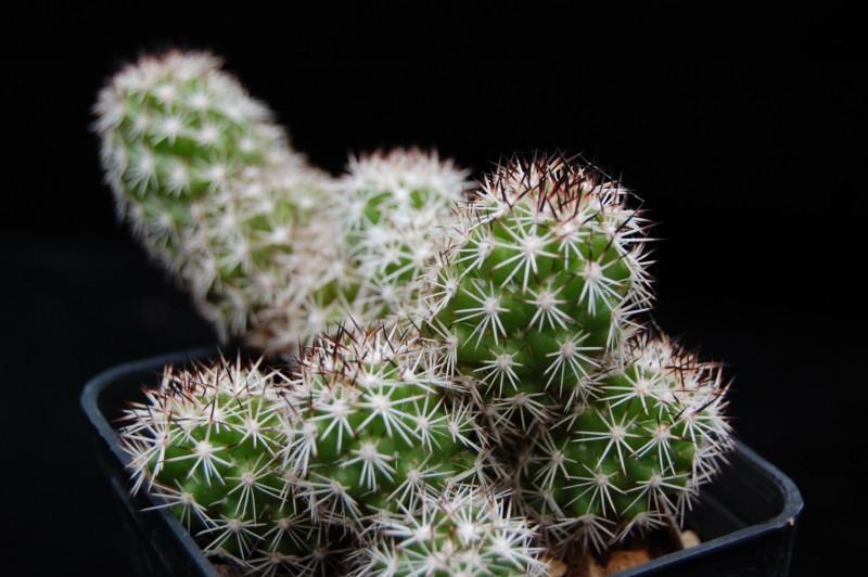 Mammillaria sphacelata Z 79