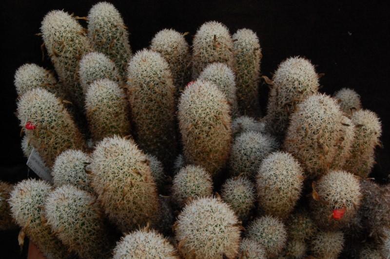 Mammillaria sphacelata